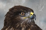 Common Buzzard - head detail