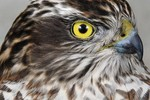 Eurasian Sparrowhawk - head detail