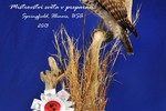 Red-shouldered hawk taxidermy