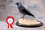 Western Jackdaw taxidermy
