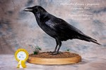 Common Raven taxidermy