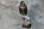 Common Buzzard taxidermy