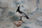 Barnacle Goose taxidermy