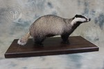 Badger taxidermy