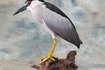 Night Heron taxidermy