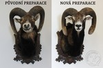 Mouflon old and new mount