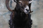 Mouflon - shoulder mount taxidermy