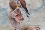 Common Kestrels taxidermy