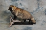 Raccoon dog taxidermy