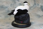 Common Eider taxidermy