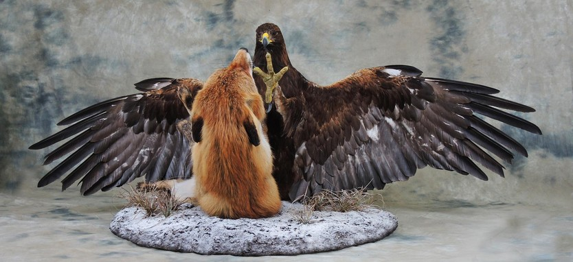 Golden Eagle fighting with a Fox